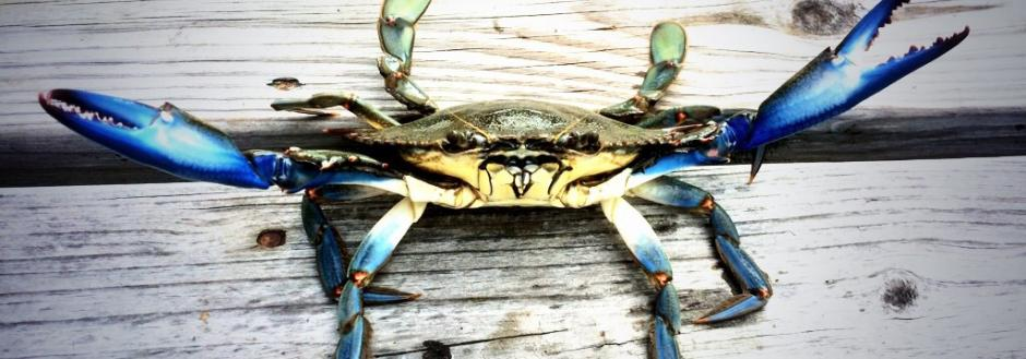 Chincoteague crabs